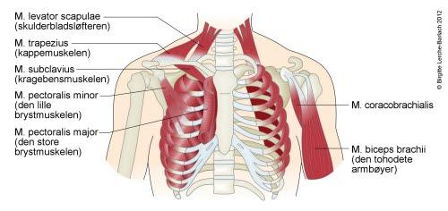 hadd eller hatt navn på muskler i kroppen