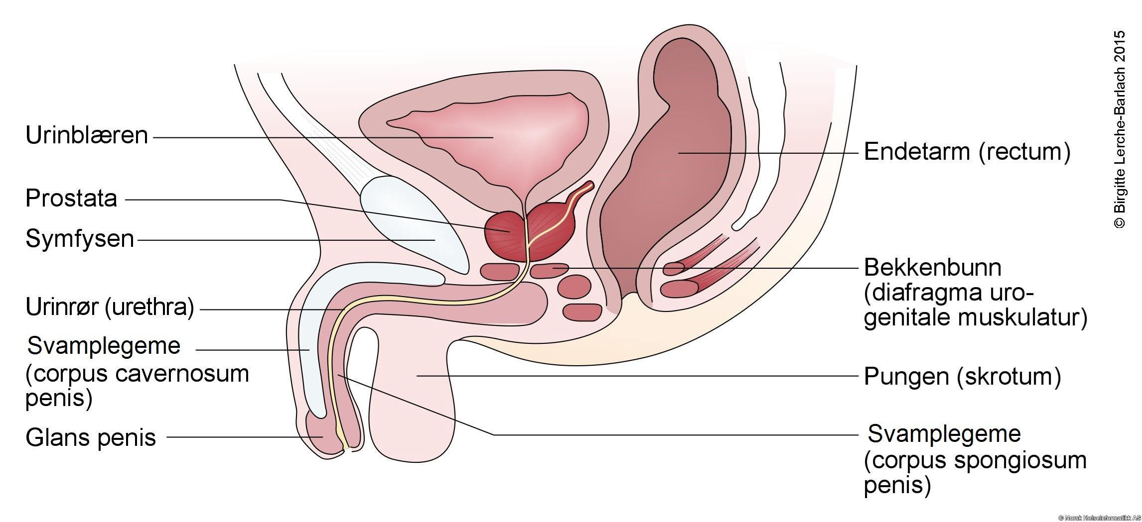 kv på penis sterke smerter i magen